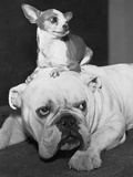 Chihuahua Seated on a Bulldog