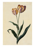 Botanical Print of Tulip