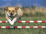 Corgi Jumping over Obstacle at Dog Agility Competition