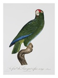 Female Puerto Rican Parrot