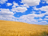 Fields of Wheat
