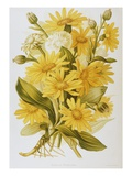 Illustration Depicting Arnica Montana Plants