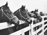 Horses Looking Over Fence at Alfred Vanderbilt's Farm Papier Photo par Jerry Cooke