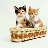 Kittens Sitting in Basket