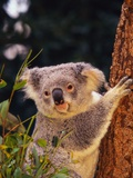 Koala in Tree