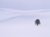 Lodgepole Pine in Snow