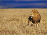 Male African Lion on Savanna