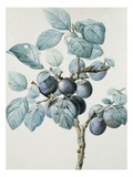 Plum Tree Branch by Pierre Joseph Redoute