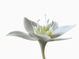 Open White Flower