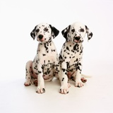 Pair of Dalmatian Puppies