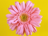 Pink Gerbera Daisy