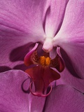 Purple Moth Orchid