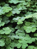 Redwood Sorrel