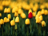 Single Red Tulip in a Field of Yellow Tulips
