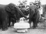 Ruth the Elephant Celebrating Her Birthday