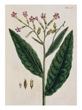 Tobacco Plant
