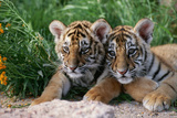 Two Siberian Tiger Cubs