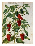 Watercolor of Indian Pepper