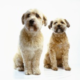 Trimmed Wheaten Terriers