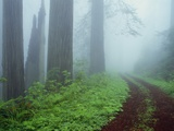 Unpaved Road in Misty Redwood Forest