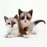 Two Tan and White Kittens