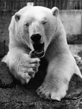 Yawning Polar Bear