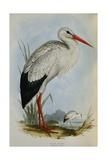 White Stork from the Birds of Europe