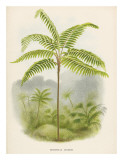 Tree Fern  18th Century