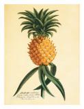 Ho'okipa  Hawaiian Pineapple c1742