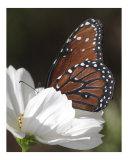 Butterfly 310