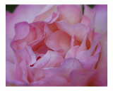 Rose 117