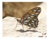 Butterfly 305