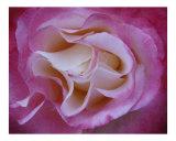Rose 120