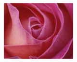 Rose 104