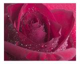 Rose 125