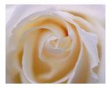 Rose 107