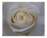 Rose 118