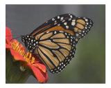 Butterfly 301