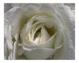 Rose 121