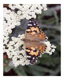 Butterfly 323