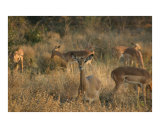 Impalas