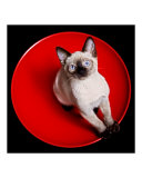 Red Bowl  Black & White Kitten