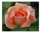 Rose 127