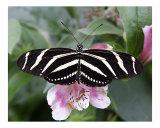 Butterfly 306