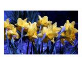 Daffodil Blues