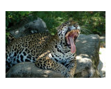 Leapard Yawning