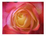 Rose 129