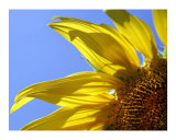 SUNFLOWER IN THE SKY