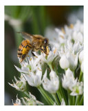 Honey Bee on White Flower