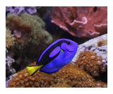 Blue Hippo (Regal) Tang - Saltwater Fish and Corals